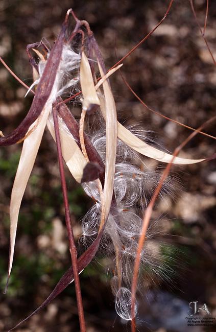 Mugwort seeds