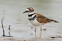 Kildeer, South Texas