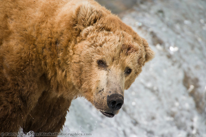 Brown bear boar, Katmai National park, southwest, Alaska.