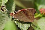 Buckeye female, Junonia coenia, Southern California