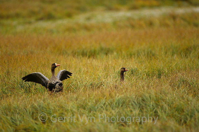 Greater White-fronted Goose (Anser albifrons) pair. Colville River Delta, Alaska. August.