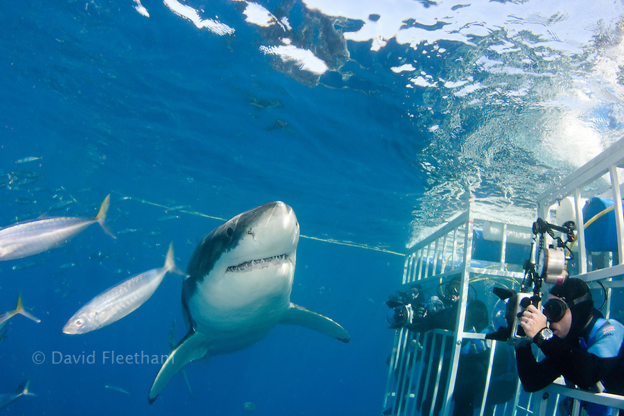 Divers in a cage get a close look at a great white shark, Carcharodon carcharias, just below the surface off Guadalupe Island, Mexico.