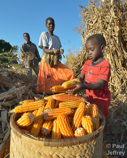 Three-year old Jacob places ears of corn into a basket as his father, Jacob Mvula (left), and mother Modesta Munyayi harvest corn in Edundu, Malawi. They and other farmers in the village have benefited from intercropping and crop rotation practices they learned from the Malawi Farmer-to-Farmer Agro-Ecology project of the Ekwendeni Mission Hospital AIDS Program, a program of the Livingstonia Synod of the Church of Central Africa Presbyterian.
