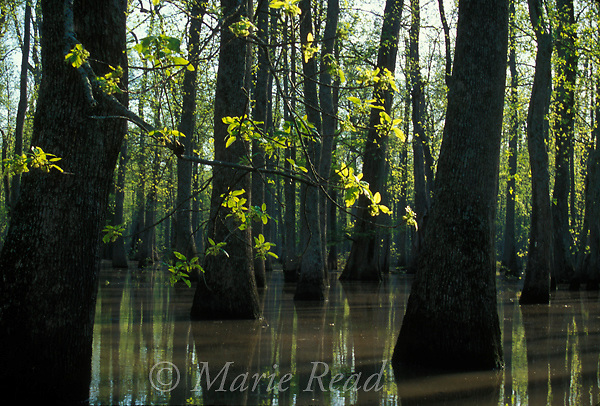 Bottomland hardwood forest, Arkansas. Tupelo in flower in flooded forest, early spring, Bayou De View, near Cotton Plant, Arkansas, USA.<br />