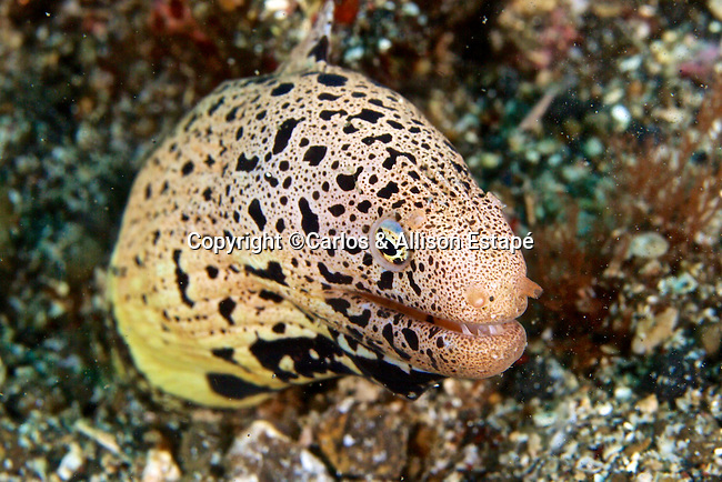 Gymnothorax fimbriatus, Fimbriated moray, Lembeh, Indonesia
