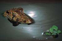 Jacaré açú.<br /> RDS Mamirauá, Amazonas, entre os rios Solimıes e Japurá.<br /> Instituto coordenado pelo cientista Márcio Ayres.<br /> Foto Paulo Santos/<br /> Amazonas-Brasil<br /> 09/12/2000