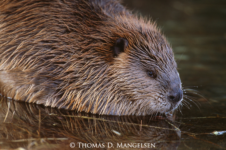Portrait of an American beaver.