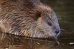 Portrait of an American beaver.