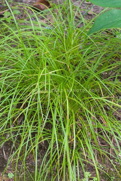 Carex pensylvanica pennsylvania sedge plant flower for Short ornamental grasses landscape
