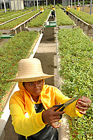 Trabalhadoras da Jarí trabalham no viveiro de mudas de eucalipto,  gênero de arbustos ou árvores de grande porte, da família das mirtáceas, usado  para plantio de extensas áreas de espécie para posterior produção de papel e celulose  (grupo Orsa).<br />A fábrica em local próximo,  onde é beneficiada a madeira, foi construída em cima de uma balsa e trazida por empurradores do Japão no final da década de 70 e instalada as margens do rio Jarí, fronteira do Pará com o Amapá.<br />Almeirim, Pará, Brasil.<br />Foto Paulo Santos/Interfoto<br />03/2005.