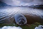 Southern elephant seal, South Georgia Island