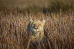 Lion, Okavango Delta, Botswana<br />