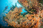 Bligh Waters, Vatu I Ra Passage, Fiji; a scuba diver hovers over an aggregation of Scalefin and Bicolor Anthias fish swimming above yellow and orange soft corals, gorgonian sea fans and dark green Black Sun Corals on a rocky pinnacle, with the sun visible overhead