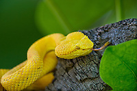 489180015 a captive golden yellow with black flecks eyelash viper bothriechis schlegelii sits coiled on a tree limb species is native to south and central america