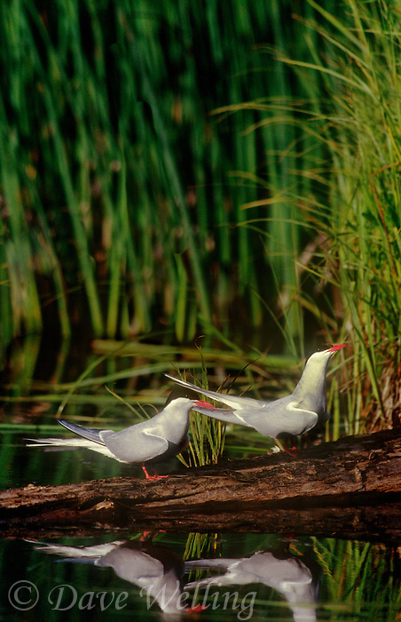 581600426 two wild arctic terns sterna paradisaca stand on a dead tree stump in potters marsh near anchorage alaska