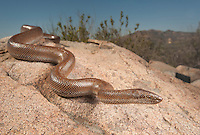 Rosy Boa - Lichanura trivirgata - Only the second I've found despite much searching. This one is from the coastal side of the mountains, with a much muddier coloration than its desert counterparts.