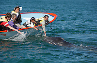 pr5357-D. Gray Whale (Eschrichtius robustus). Curious calf approaches boat to the delight of tourists. San Ignacio Lagoon, Baja, Mexico..Photo Copyright © Brandon Cole. All rights reserved worldwide.  www.brandoncole.com..This photo is NOT free. It is NOT in the public domain. This photo is a Copyrighted Work, registered with the US Copyright Office. .Rights to reproduction of photograph granted only upon payment in full of agreed upon licensing fee. Any use of this photo prior to such payment is an infringement of copyright and punishable by fines up to  $150,000 USD...Brandon Cole.MARINE PHOTOGRAPHY.http://www.brandoncole.com.email: brandoncole@msn.com.4917 N. Boeing Rd..Spokane Valley, WA  99206  USA.tel: 509-535-3489