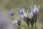Pasque Flowers ,Pulsatilla patens, aka Wild Crocus, is the first wildflower seen in the Colorado Rockies