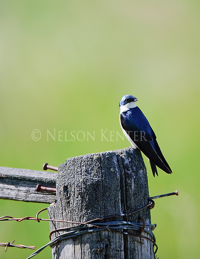 a male tree swallow sitting on an old wood fence post with barbed wire