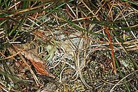 Rote Röhrenspinne, Schwarze Röhrenspinne, Röhrennetz gut getarnt auf Erdboden, Netz, Spinnennetz, Eresus kollari, Eresus cinnaberinus, Eresus niger, Lady bird spider, ladybird spider, velvet spider, Érèse coccinelle, Röhrenspinnen, Eresidae