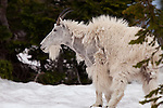 A molting male mountain goat stands in a snowfield in Glacier National Park, Montana.