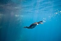 flightless cormorant, or Galapagos cormorant, Phalacrocorax harrisi, swimming underwater to hunt for a prey, endemic species which has lost the ability to fly as there are no predators in the islands to prey on it, Galapagos Islands, Ecuador, Pacific Ocean
