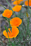Poppies (Eschscholzia californica)  California poppies explode onto the landscape in a burst of color in the spring and early summer. It is the state flower of California.