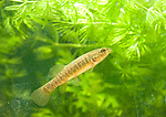 Banded Killifish pond minnow