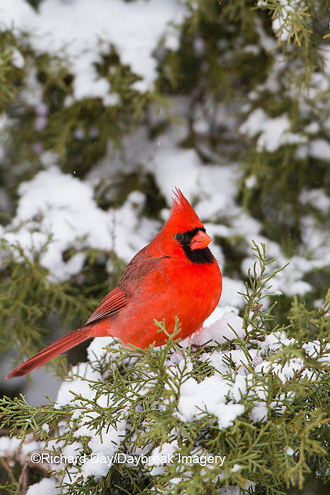 01530-21516 Northern Cardinal (Cardinalis cardinalis) male in Juniper tree (Juniperus keteleeri) in winter Marion Co. IL