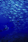 Schooling Trevally with Diver. Caranx sp..Great Barrier Reef, Queensland, Australia