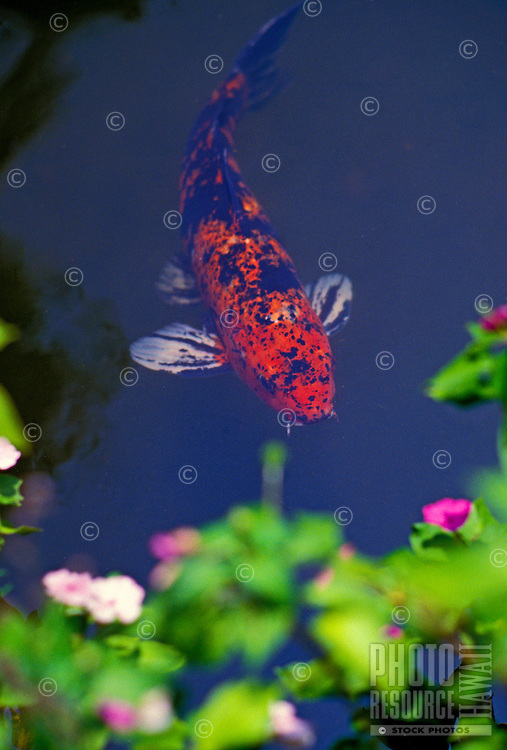 An large orange and blue koi fish swims in a pond with pretty pink flowers.