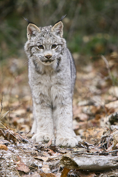 Canada Lynx standing on the frosty leaf-covered ground - CA