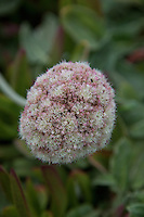 "Coast Buckwheat, but its scientific name is   Eriogonum latifolium. According to the National Park Service, ""Eriogonum is Greek for ""woolly knees."""