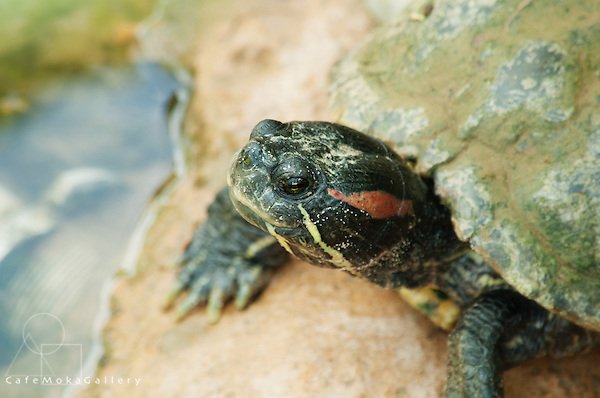 Red-eared Slider Turtle, Trachemys scripta elegans, Native to Mexico and southern states but has spread elsewhere in the area