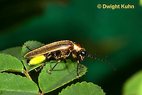 1C24-566p   Firefly Adult - Lightning Bug - Photuris spp.