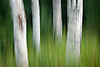 Abstract photo of aspen tree trunks and grass during summer in the Santa Fe National Forest, NM, USA.