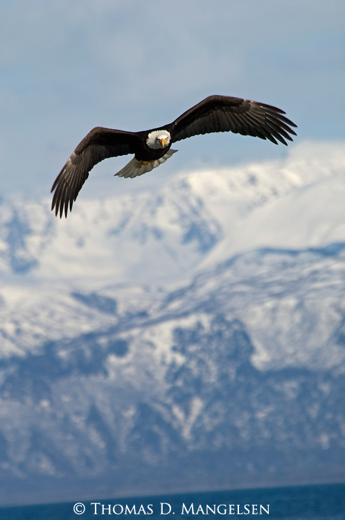 A bald eagle soars in front of the mountains over Kachemak Bay in Homer, Alaska.