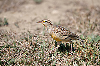 Eastern Meadowlark (Sturnella magna magna), in juvenile plumage foraging for food in a field near Longmont, Colorado.