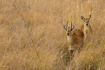 Puku (Kobus vardonii) sub-adult males, Kafue National Park, Zambia