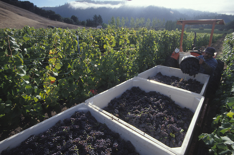Workers harvesting grapes in Anderson Valley, California