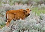 American bison calf, Yellowstone National Park, Wyoming