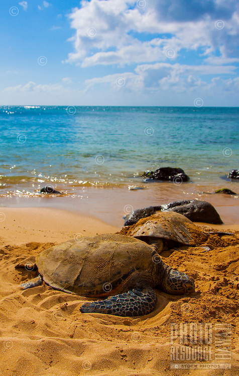 Two Hawaiian sea turtles (honu) peacefully rest on a golden sand beach on the North Shore, O'ahu.