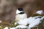 Black-capped chickadee perched in a snow-covered spruce tree.