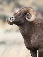 A ram exhibits the Flehmen response as he processes scents to determine whether females are ready to mate.