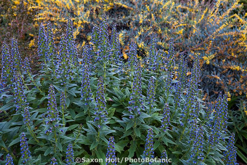 Echium; Arlington Garden, Pasadena