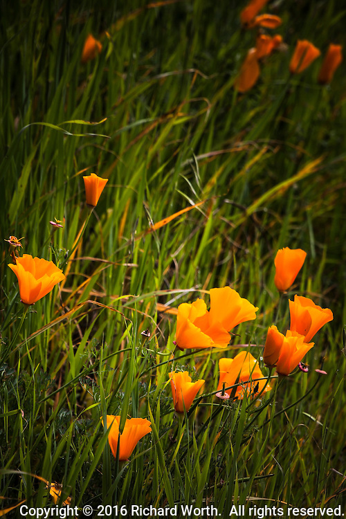 Climbing up from the grass, California poppies along a trail at Lake Chabot Regional Park in Castro Valley, California greet springtime.