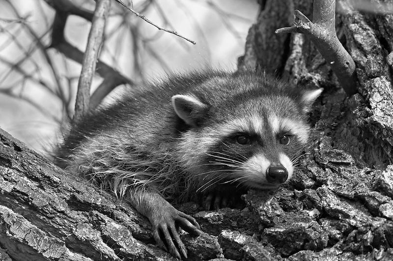 Raccoon in cottonwood tree. Klamath Lake National Wildlife Refuge, California