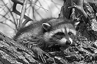 Raccoon in cottonwood tree. Klamath Lake National Wildlife Refuge, California