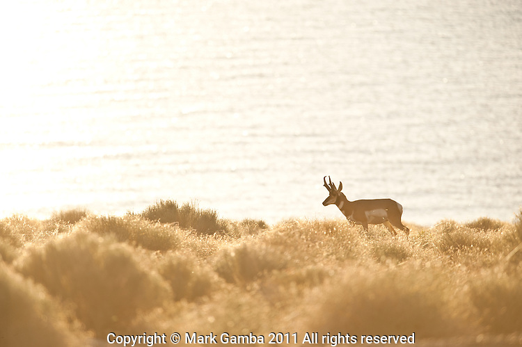 Pronghorn (Antilocapra americana)at Walker Lake's south end