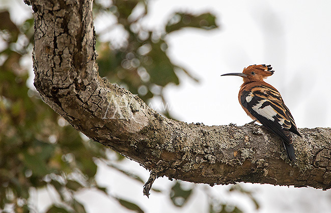 The hoopoe is a bird I have not had much luck photographing over the years.